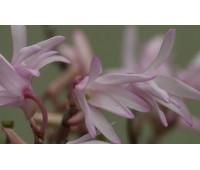 Dendrobium moniliforme 'Kinagashi'