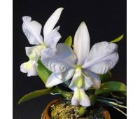 Cattleya nobilior (coerulea x coerulensis)