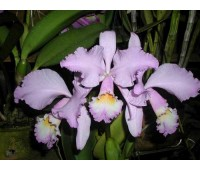 Cattleya warneri concolor 'HI' x Cattleya warneri venosa suave