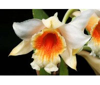 Dendrobium cariniferum