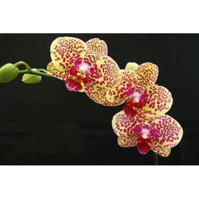 Doritaenopsis DTPS 002 Changzhi Pearl