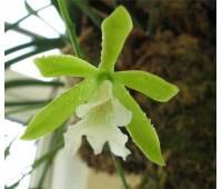 Encyclia mariae x Encyclia tampense semi-alba