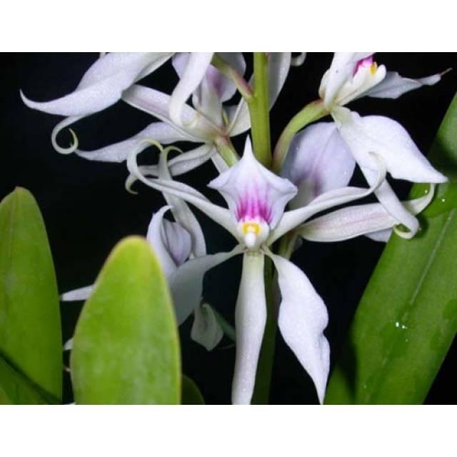 Epidendrum faustum
