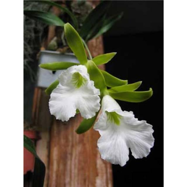 Euchile mariae