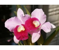 Laeliocattleya Supersonic 'Striking Lip' (Lc. Little Oliver x L.purpurata)