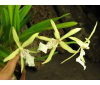 Miltonia flavescens