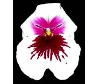 Miltoniopsis Robert Jackson 'Wild Thing'
