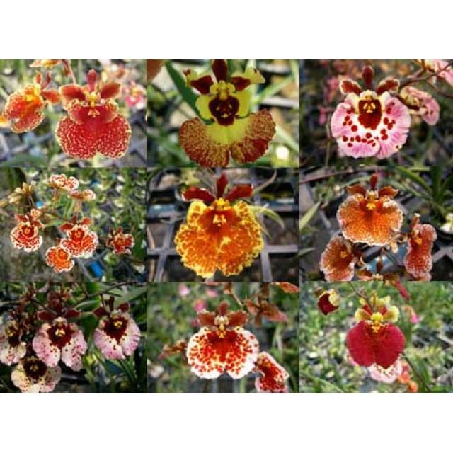 Oncidium (Tolumnia) hybrids
