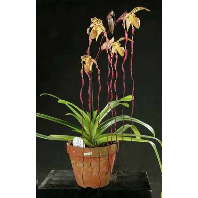 Paphiopedilum philippinense 'Daya Twisler' x sanderianum 'Doritopsis Lee'