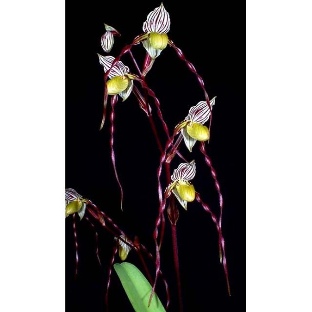 Paphiopedilum philippinense 'In-Charm' x sibling 'Ween Sin'