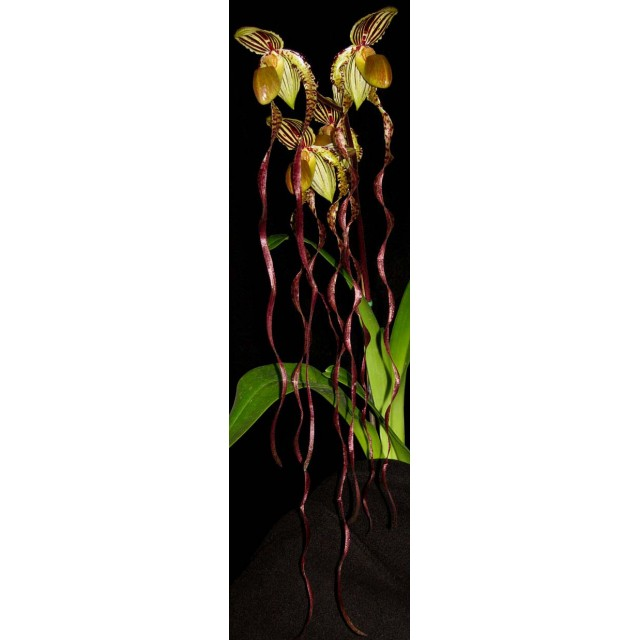 Paphiopedilum sanderianum 'Show Shan' x Paphiopedilum philippinense '9F'