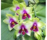 Phalaenopsis bellina 'Mountain type'