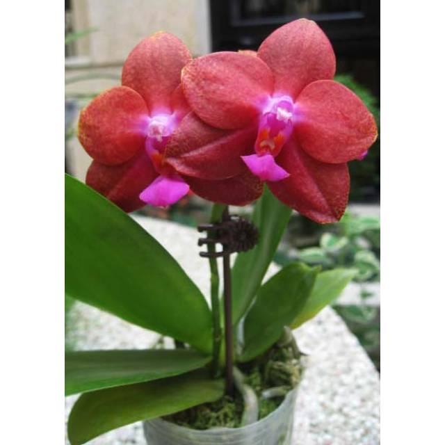 Phalaenopsis Fusheng's World 'FS'