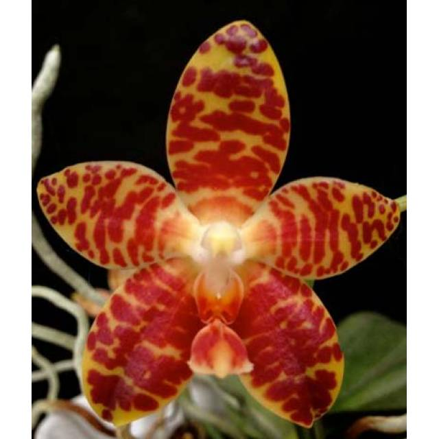 Phalaenopsis gigantea x Brother Ambo Passion