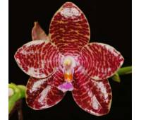 Phalaenopsis Joey (gigantea x lueddemanniana)