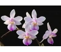 Phalaenopsis lindenii x sib