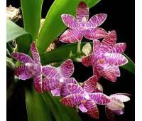 Phalaenopsis lueddemanniana x self