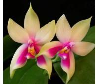 Phalaenopsis Samera 'Red' x sib
