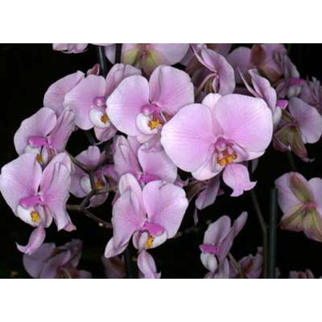 Phalaenopsis schilleriana x sib
