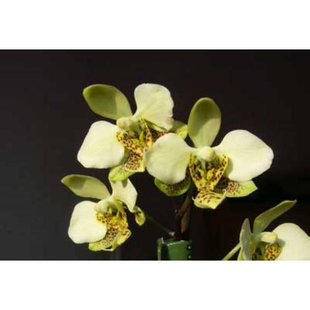 Phalaenopsis stuartiana (green x yellow)