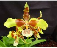Rossioglossum 'Rawdon Jester' (Rossioglossum grande x Rossoiglossum williamsianum)