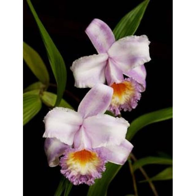 Sobralia sp. coerulea (Equador) x self