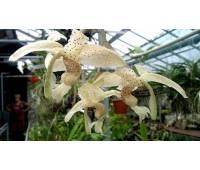 Stanhopea florida