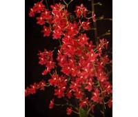 Wilsonara Berry Red 'Starry, Starry Night'