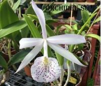 Brassavola nodosa x Cattleya trianae