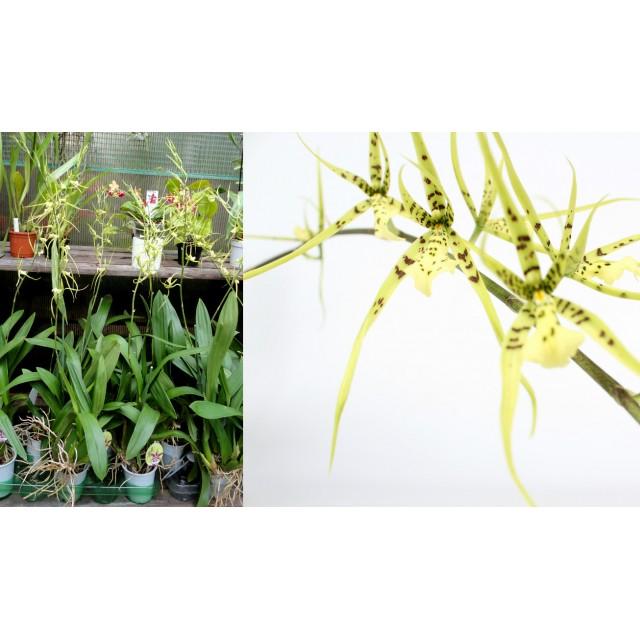 Brassia Lansbergen