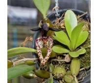 Bulbophyllum lasiochilum var.black