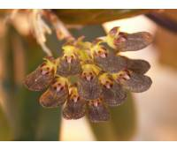 Bulbophyllum spathulatum