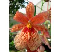 Burrageara Nelly Isler `Swiss Orange Beauty`