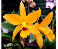 Cattlianthe Gold Digger 'Buttercup'