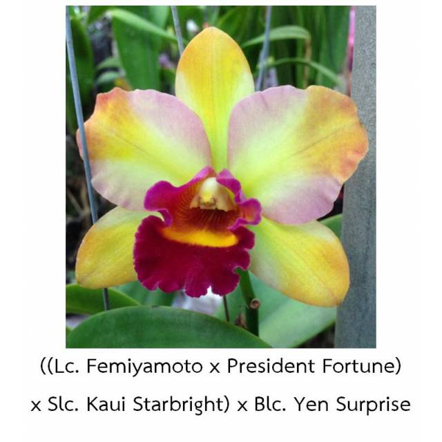 Cattleya ((Lc. Femiyamoto x President Fortune) x Slc. Kaui Starbright) x Blc. Yen Surprise