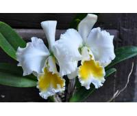 Cattleya Bob Betts x Karl Hausermann