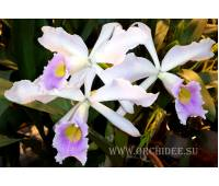 Cattleya eldorado x Laelia purpurata var. Russelliana