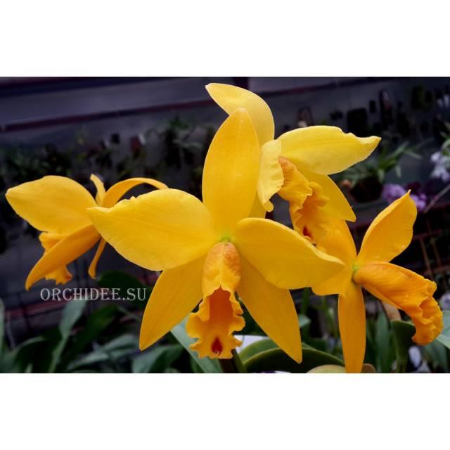 Cattleya hybrid 15