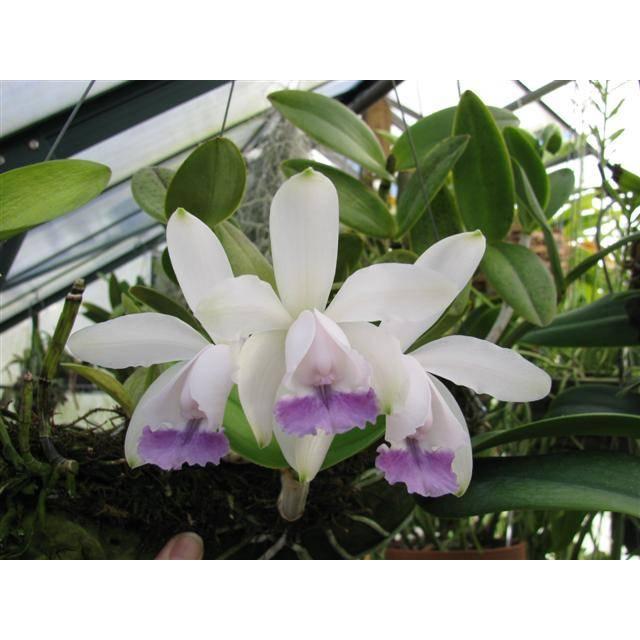 Cattleya intermedia var.coerulea
