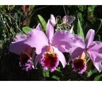 Cattleya percivaliana 'Summit' x 'Centro Remolacha'