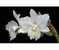 Cattleya Weddling Song Hawaii