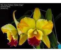 Rhyncholaeliocattleya Green Rattana 'Golden Angel'