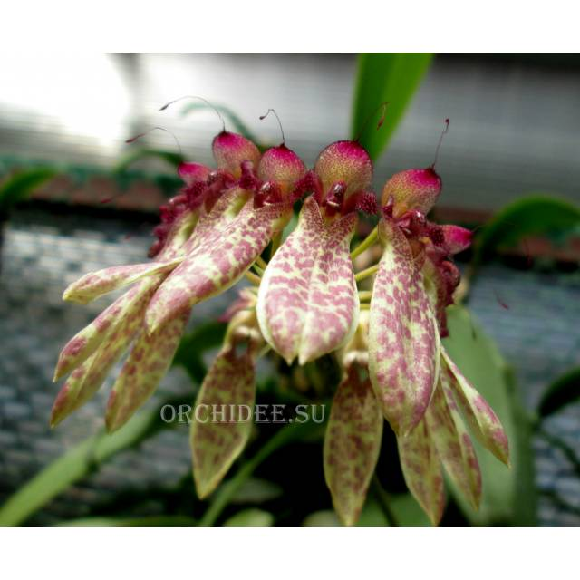 Cirrhopetalum pulchrum