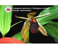 Coelogyne speciosa x Coelogyne usitana