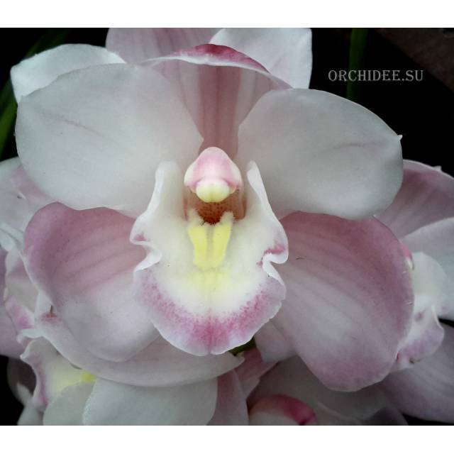 Cymbidium Valley Vapour 'Purity'