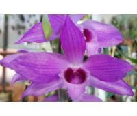 Dendrobium Nestor 'Dragon'