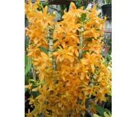 Dendrobium Starbust