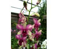 Dendrobium Burana 'Emerald'