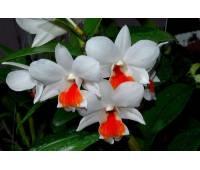 Dendrobium Roongkamol Vejvarut