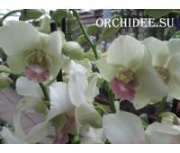 Dendrobium Snow Jade
